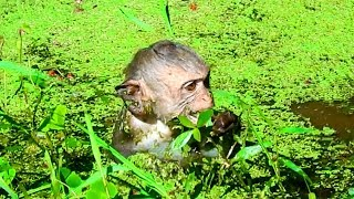 Aww! These Little Monkeys Don't Be Afraid Of Leech While They Getting Into Water Pond