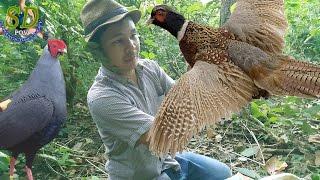 PHEASANT vs Cambodia Traditional Trap    Birds Trap    How to Hunting Birds In Cambodia