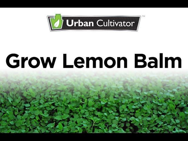Grow Lemon Balm Indoors