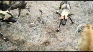 Wild dogs and hyena battle it out