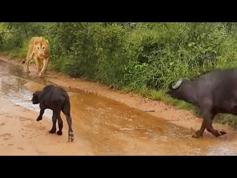 Buffalo Chases A Hunting Lion From Her Newborn Calf - Latest Wildlife ...