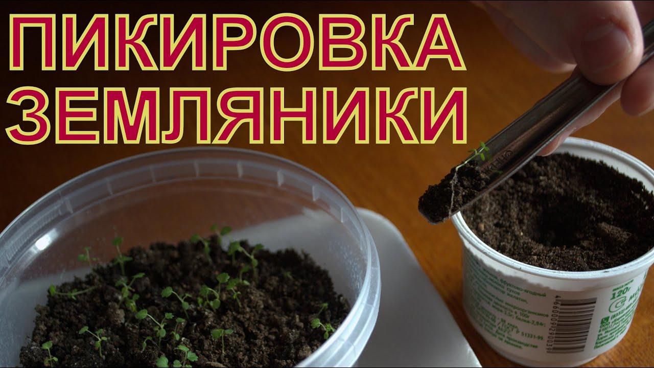 Как правильно посадить землянику на рассаду из семян 55