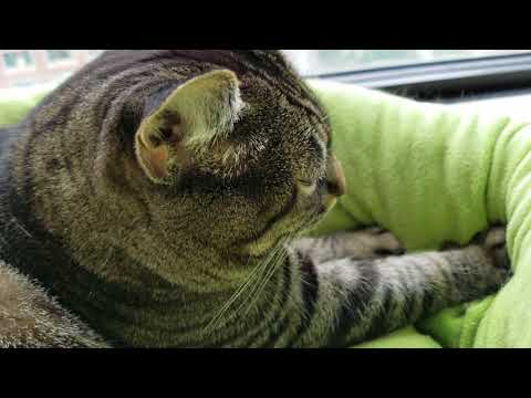 Feline Observational  - Tacy Cat Kneading with Loud Purr