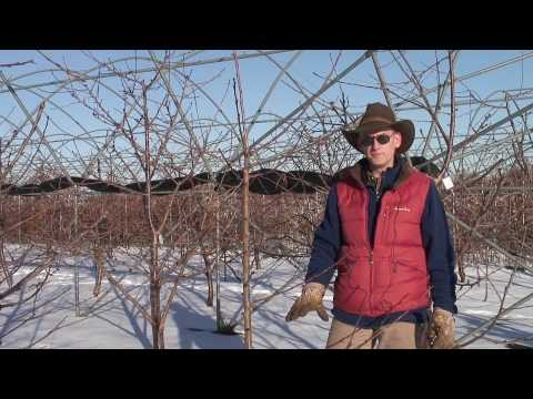 Gisela Cherry rootstocks: Greg Lang 3