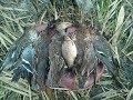 Охота на перелетную утку на большом озере 30.09.2017 duck hunting
