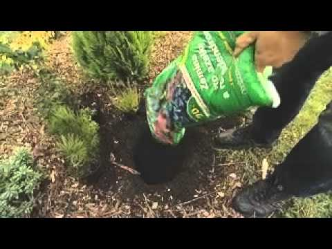 Výsadba jehličnatých dřevin a ostatních kyselomilných rostlin