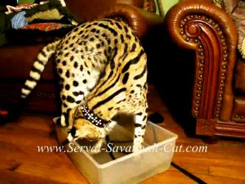 African Serval Cat fishing, F1 savannah kittens for sale sire Serval Cat
