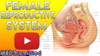 Female Reproductive System Made Easy - Organs & Functions