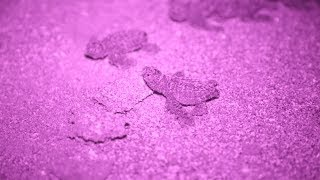 How a mother sea turtle makes her nest