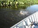 Pesca pacu . dr. aurelio utiliza tecnica milenar do sr. miyagi da pesca do pacu na batida do bambu no pantanal