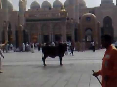 ! ( ثور هائج بالمدينة المنورة ( المسجد النبوي
