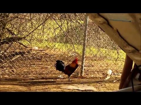 Young Jungle Fowls 2011.wmv