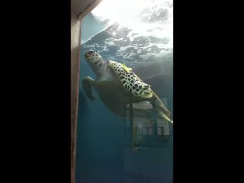 Port of Nagoya(Japan) Public Aquarium sea turtle Maitai