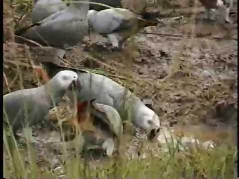 parrotsdotorg - Where the Wild Greys Are - Grey Parrot Conservation, Part 3