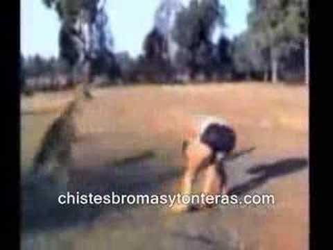 Chascarros y videos chistosos de animales