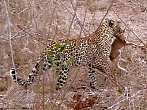 INCREDIBLE EXTREME FOOTAGE: Amazing Leopard Behaviour - Hunting Instinct vs Maternal Instinct