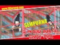 download lagu SEMPURNA ... Kacer Alien BUka Ekor Full Nembak2 Sampai Teler Di LatBer Rohani Jum'at gratis