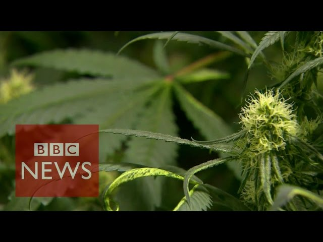 Uruguay's radical cannabis plans - BBC News