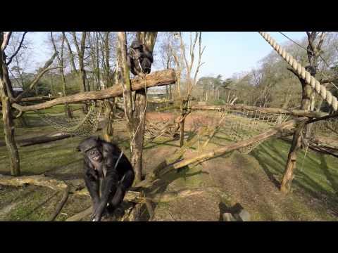 Chimpansees halen drone naar beneden en filmen elkaar!