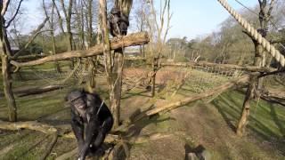 Chimpanze takes down a drone
