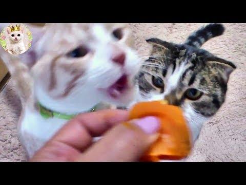 干し柿をガツガツ食べる猫