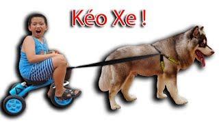 NTN - Thử Cho Gấu Alaska Kéo Xe (Alaska dog pull the bike)