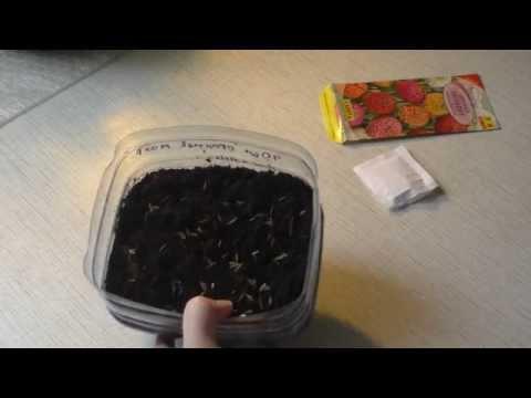 Как сажать семена на рассаду цинии 58