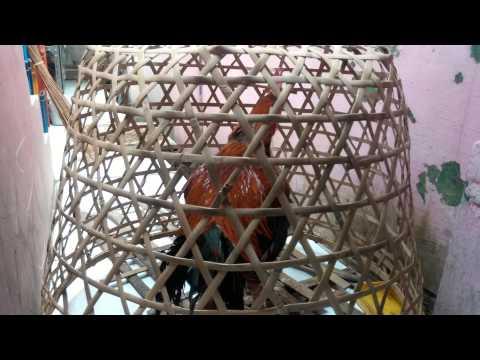 Suara Ayam Pelung Asli Cianjur video