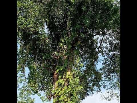 Ujungbatu RokanHulu Riau.  Penebangan pohon bentungan!
