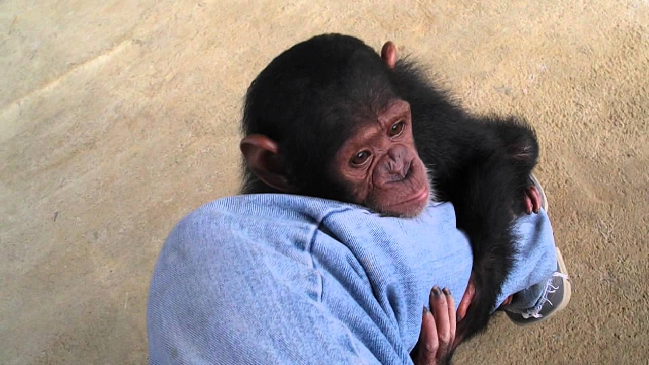 Baby Chimps Youtube