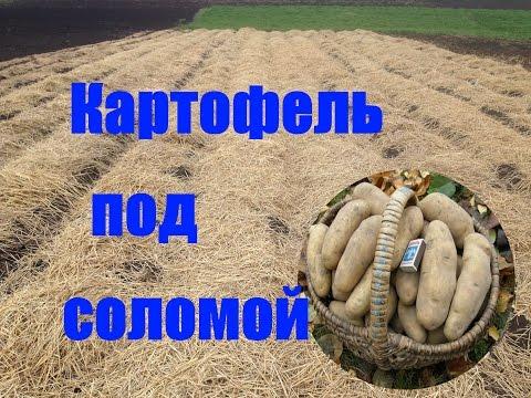 Как правильно посадить картофель под солому