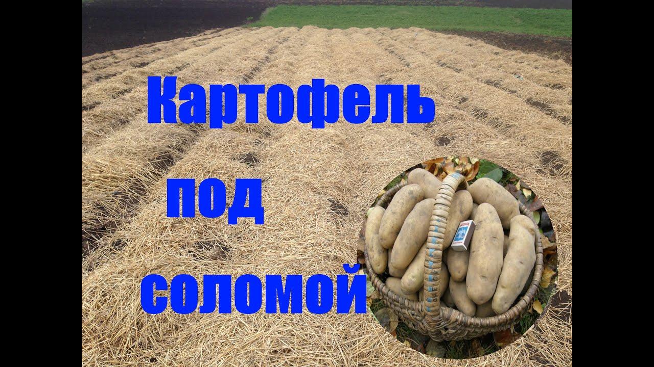 Картошку сажать под солому 19