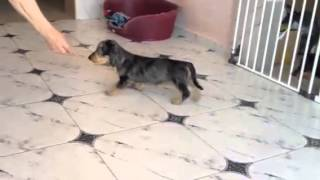 Wirehaired  standard dachshund - silver dapple female-puppy SAFIRA Iz NP - for sale