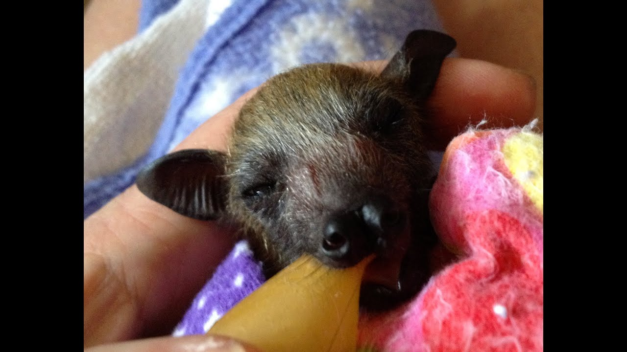 Ultra cute orphaned baby flying-fox (bat) plays after a ...