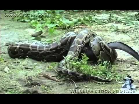 ловят змей в африке видео