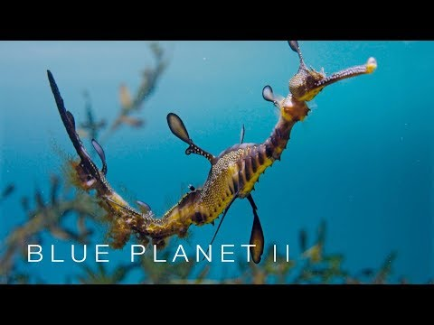 Baby sea dragons hatch - Blue Planet II: Episode 5 - BBC One