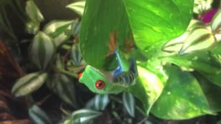 Red Eyed Tree Frog Terrarium