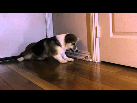 Adorable Corgi puppy battles a door stop