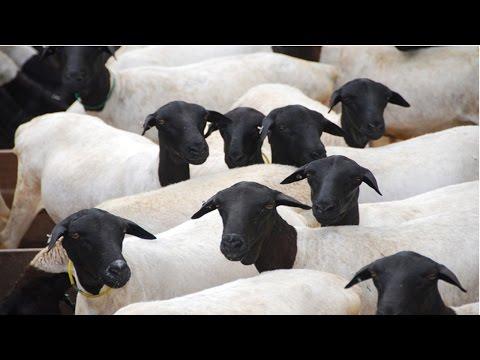 Curso Melhoramento Gen�tico de Ovinos - Caracter�sticas Importantes para o Melhoramento