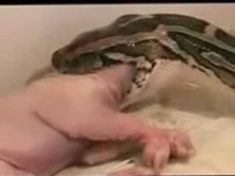 Largest Anaconda on the Earth eating the entire Pig !!
