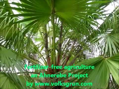 fertilizer-free ariculture - grow the palm tree faster - cheap palm oil -