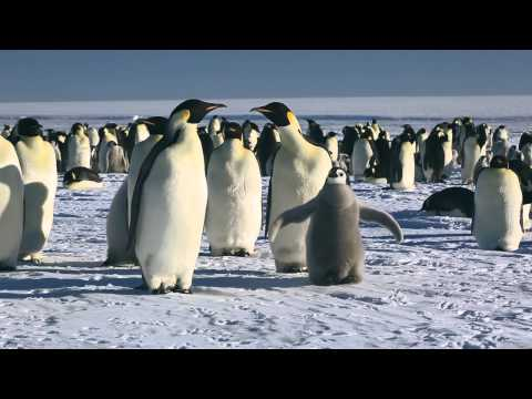 March of the Penguins: Emperor Penguins to the Funeral March of a Marionette