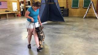 "Super Star German Shepherd Puppy ""Odin"" 7 Months Obedience Tricks Protection WOW!"