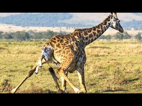 Naissance d'un bébé girafe en direct - ZAPPING SAUVAGE