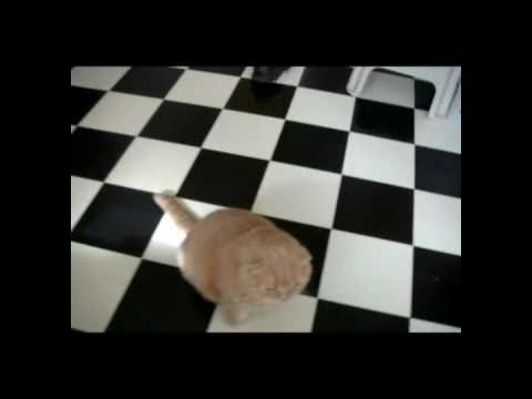 My Scottish Fold on Fat Cats 101, Animal Planet, Discovery Channel TV world's cutest cat