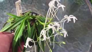 ORCHID CARE: NEOFINETIA FALCATA ORCHID TIPS TO BLOOM AND GROW
