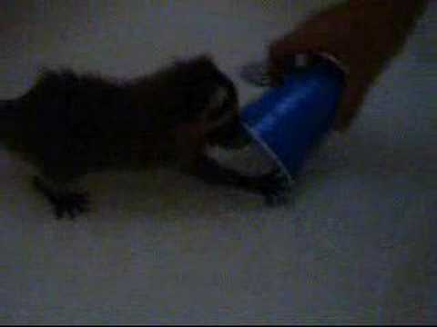 0 Some vids of our baby raccoon, Tyrone Biggums, playing in the bathtub.
