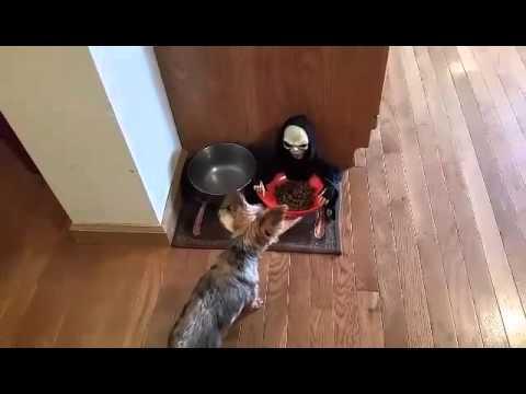 Una broma de Halloween a su perro no le deja comer tranquilo