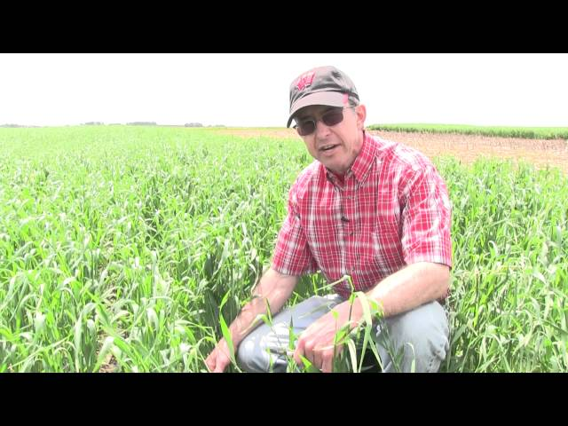 Cover Crops: Winter Rye After Corn Silage