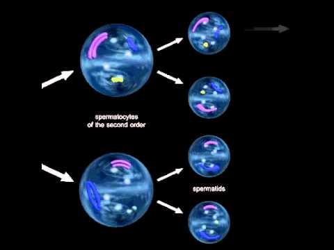 deystvie-peruanskoy-maki-na-spermatogenez